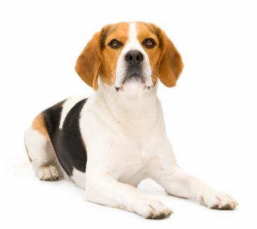 Le dressage de l'épagneul breton, un chien de chasse