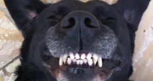 chien claquant des dents