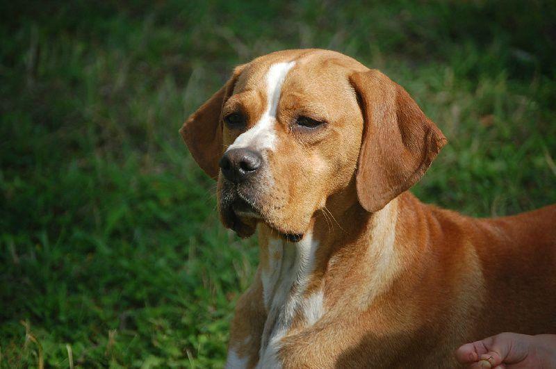Dressage d'un chien d'arrêt - DressageChiensBlog