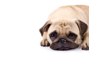 chien pleurant et triste