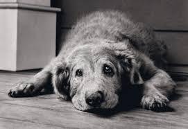 chien malheureux qui gémit